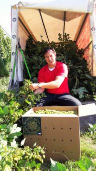 Brewer harvesting fresh hops